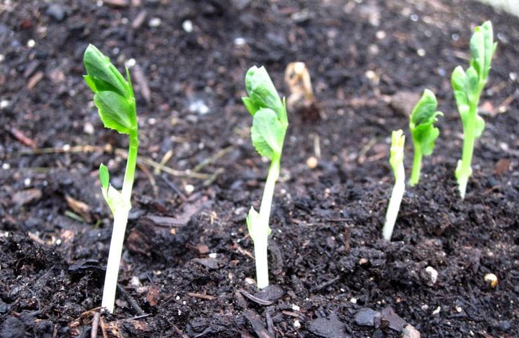 Выращивание спаржи из семян: уход и способы размножения