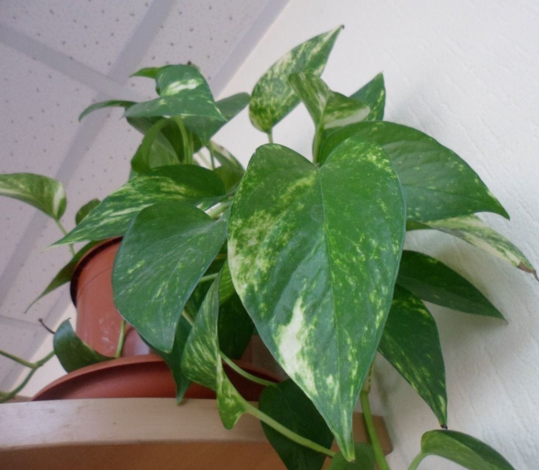 Сциндапсус: выращивание, уход и размножение в домашних условиях