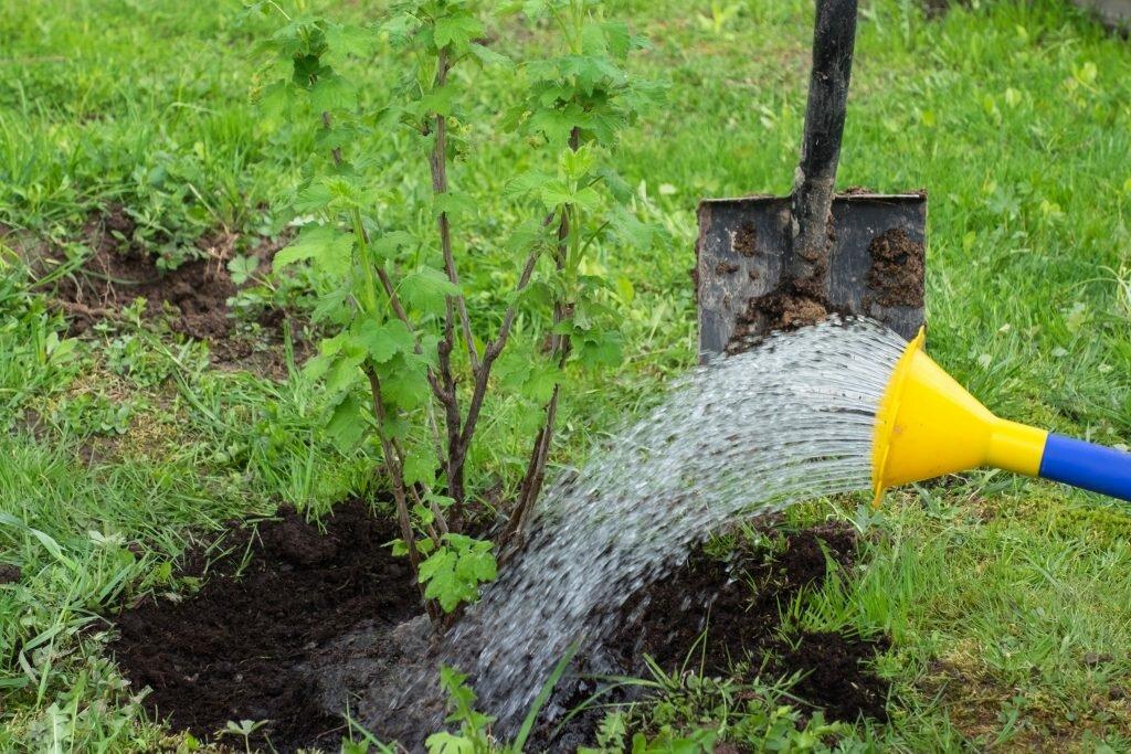 Удобряя смородину по этой методике можно собрать невероятный урожай