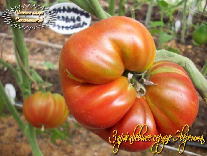 Лучшие сердцевидные сорта томатов