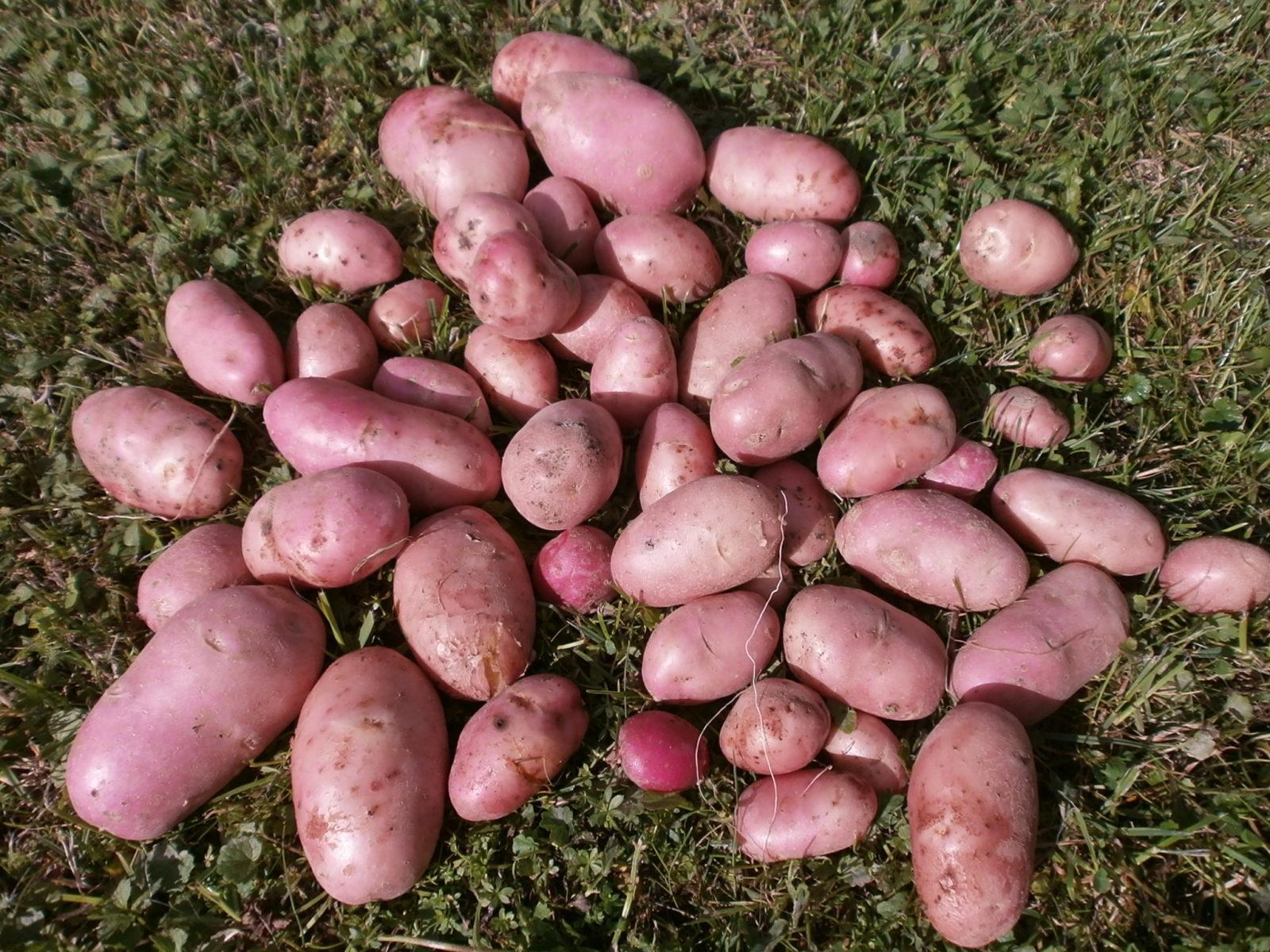 Картофель манифест: описание сорта, фото, характристика русский фермер