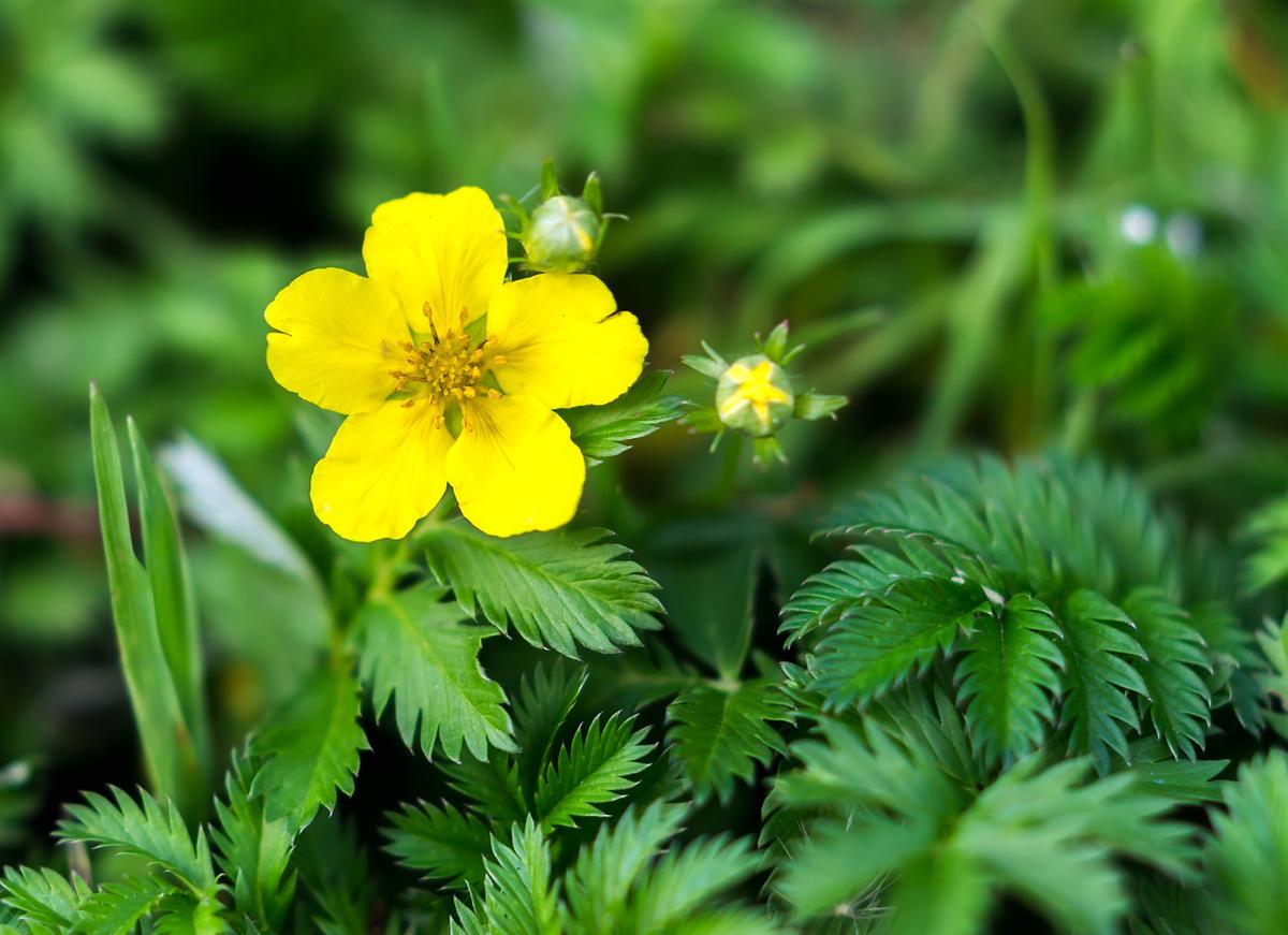 Трава лапчатка прямостоячая, корень калган: полезные лечебные свойства, применение и противопоказания для использования