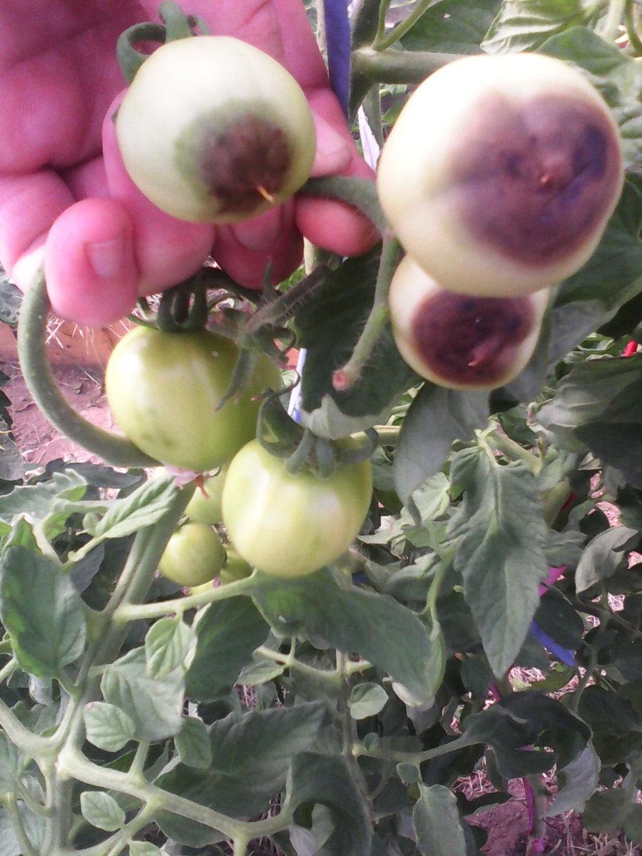 Вершинная гниль томатов – в теплице и их лечение, фото, обработка препаратами, народными средствами