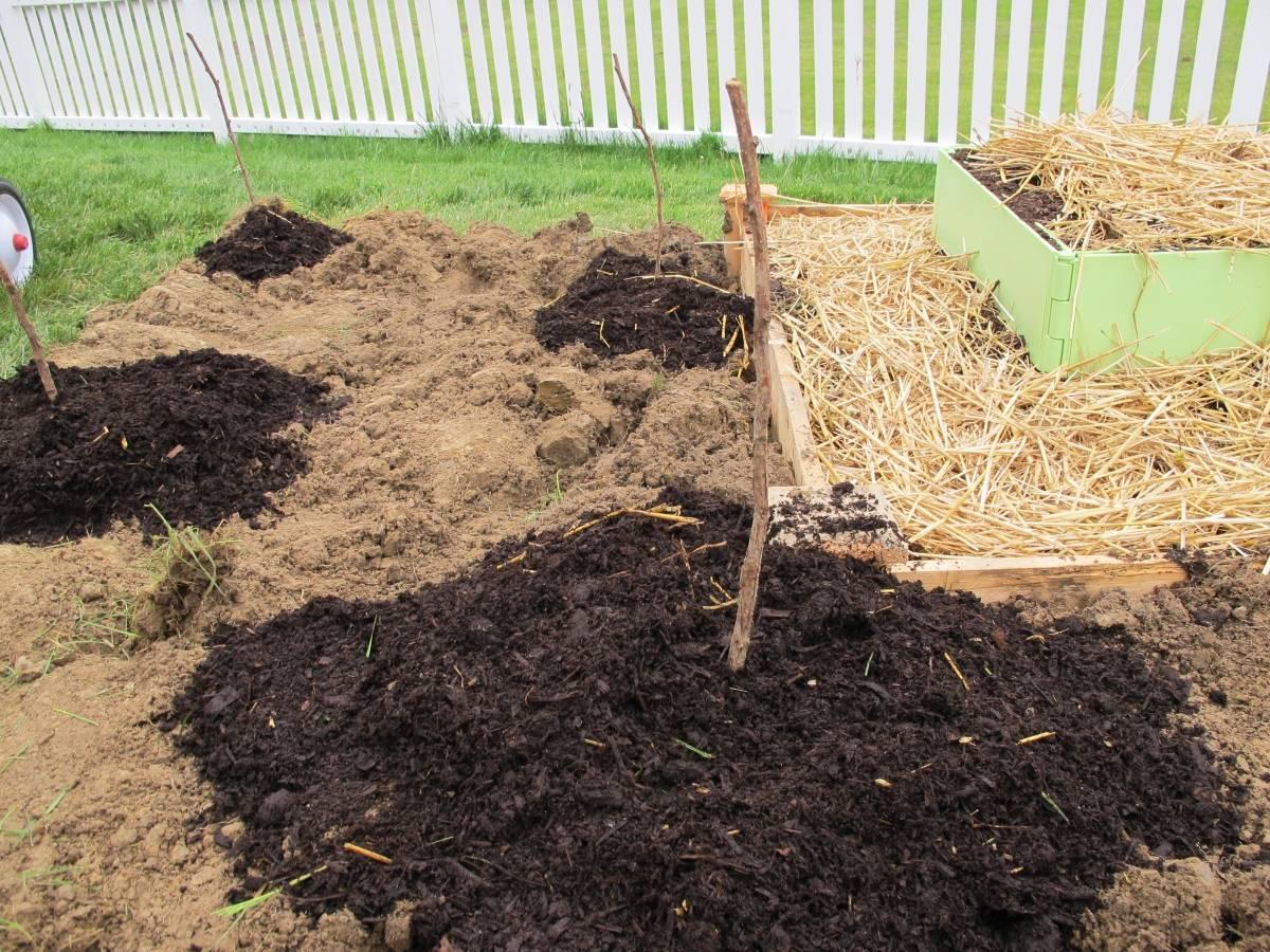 Облепиха: правила посадки и ухода. собственное солнце в саду.