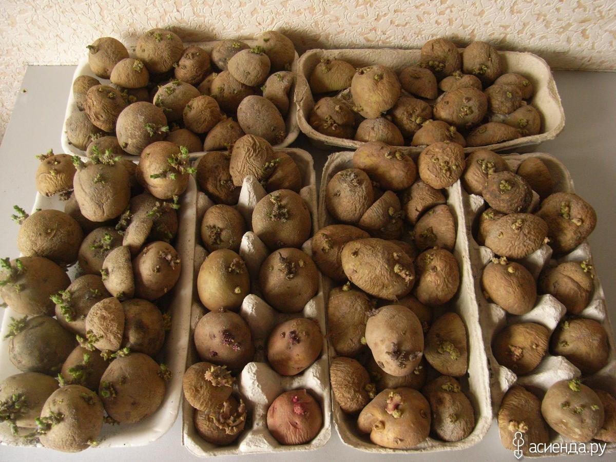 Проращивание картофеля перед посадкой. проращивание на свету, в темноте, в опилках и пакетах - популярные способы