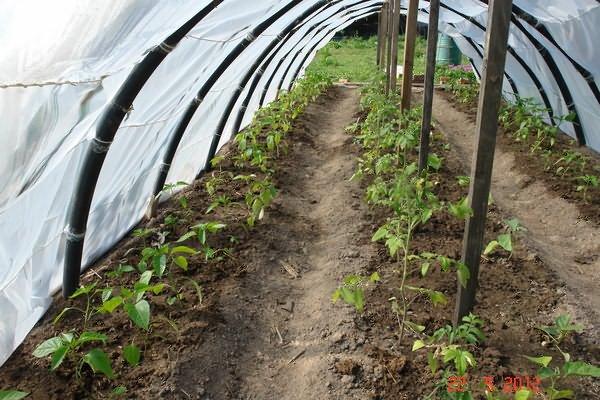 Баклажаны и перец водной теплице: можно ли выращивать, правила посадки, расстояние