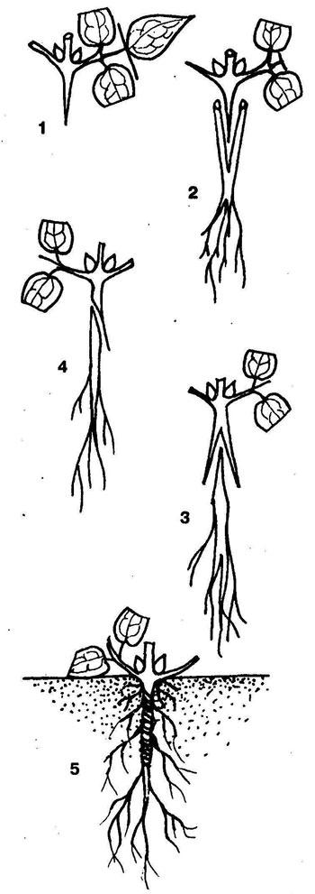 Клематис: посадка и уход в открытом грунте, выращивание и размножение сорта, фото, сочетание в ландшафтном дизайне