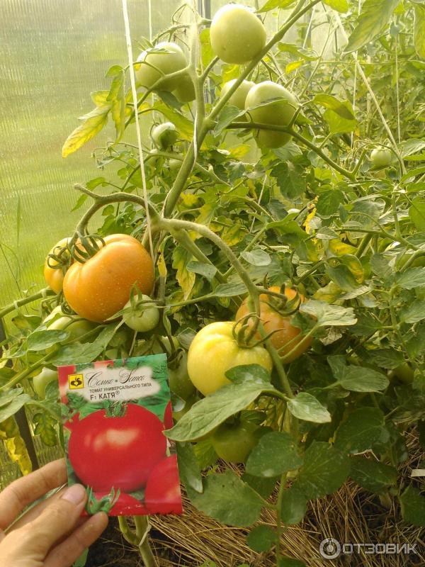 Томат катя f1: отзывы, фото, урожайность, характеристика и описание сорта