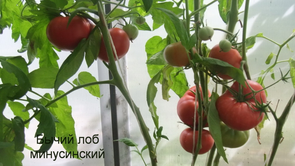Бычий лоб сорт томата