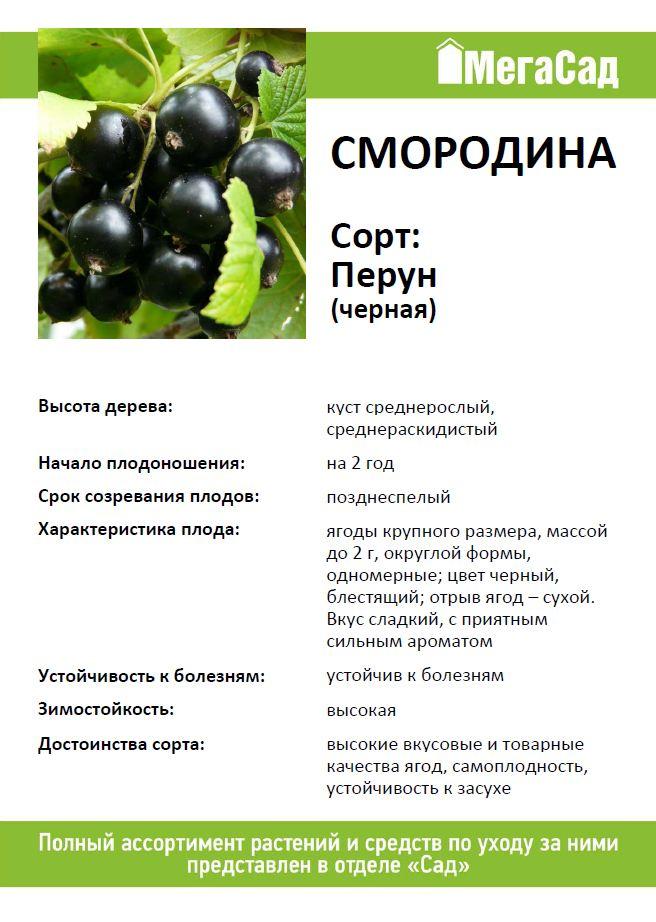 Чёрная смородина сорта багира: как вырастить крупноягодный сорт в своём саду