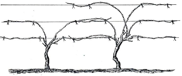 Подвязка винограда как обязательная мера ухода