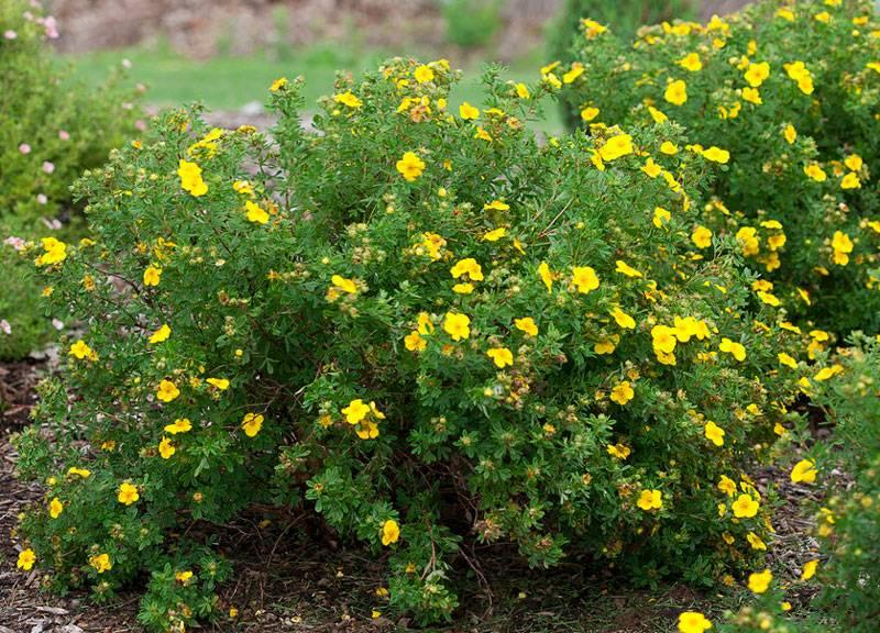Лапчатка кустарниковая: выращивание, сорта, фото