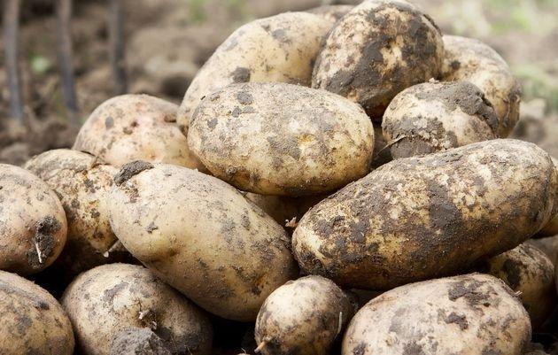 """Картофель """"янка"""": описание сорта и фото русский фермер"""
