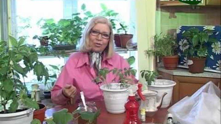 Описание метода пикировки томатов по ганичкиной