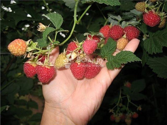 Малина гусар - описание сорта, фото, отзывы, особенности выращивания