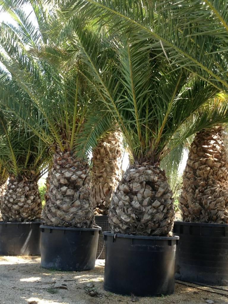 Финиковая пальма в домашних условиях - выращивание из косточки, фото