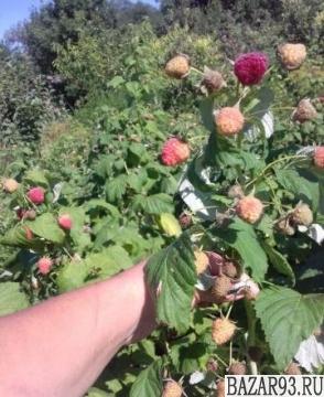 """Ремонтантная малина """"бабье лето"""": описание и фото, посадка и уход"""