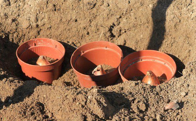 Посадка тюльпанов осенью: когда лучше сажать, сроки, правила, советы