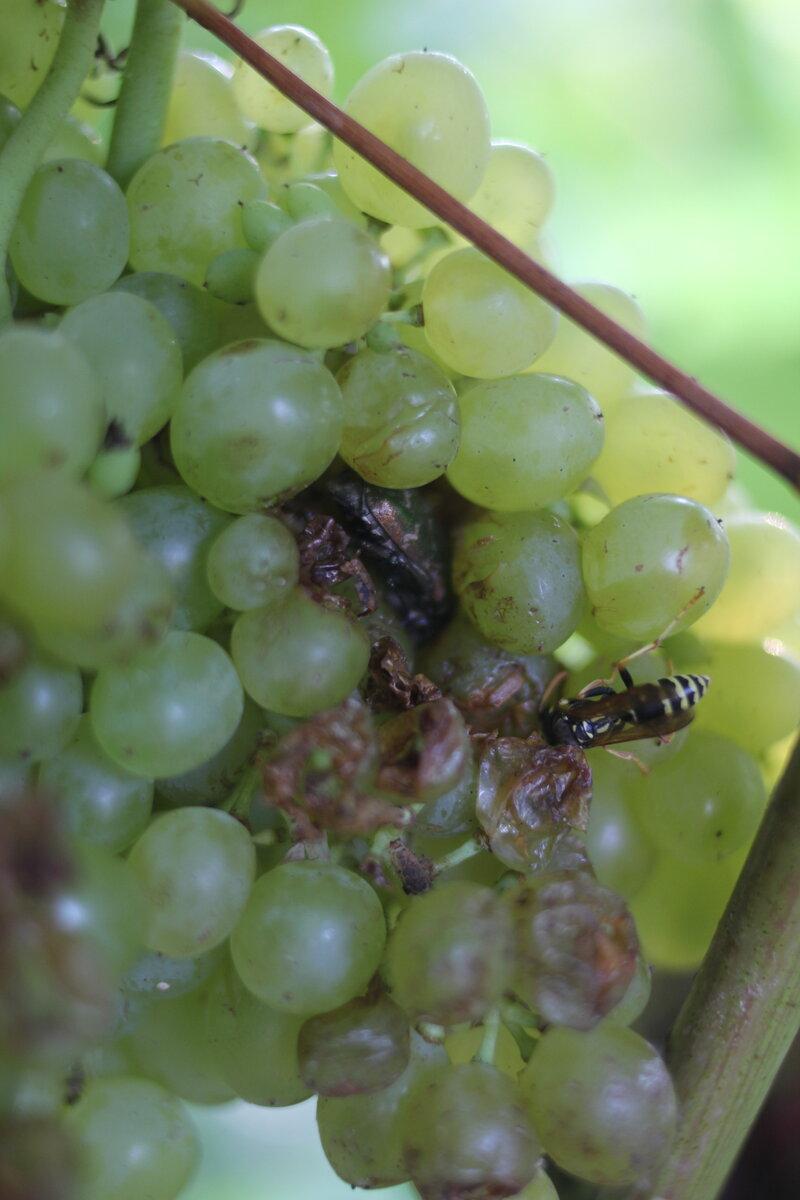 Как избавиться от ос на винограде во время его созревания