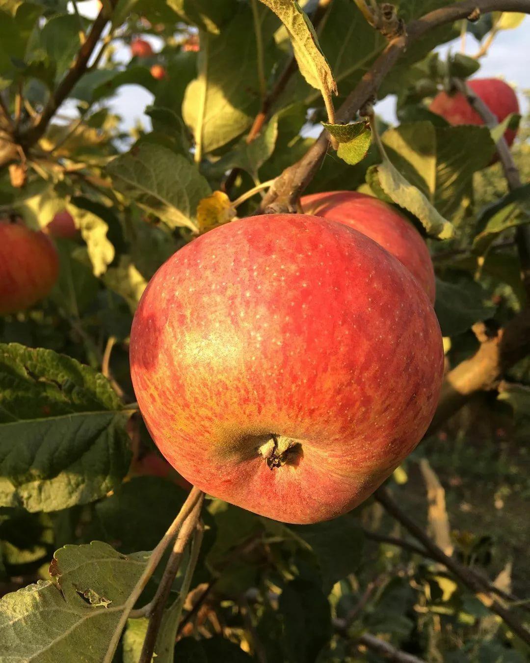Описание яблони сорта «штрейфлинг:» характеристика, фото, отзывы