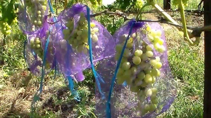 Методы защиты винограда от ос и шершней