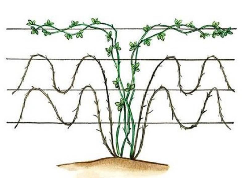 Посадка ежевики: когда лучше сажать, выращивание и уход, пересадка