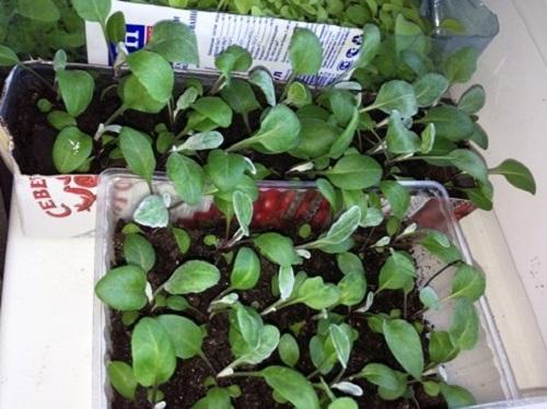 Физалис овощной, выращивание из семян
