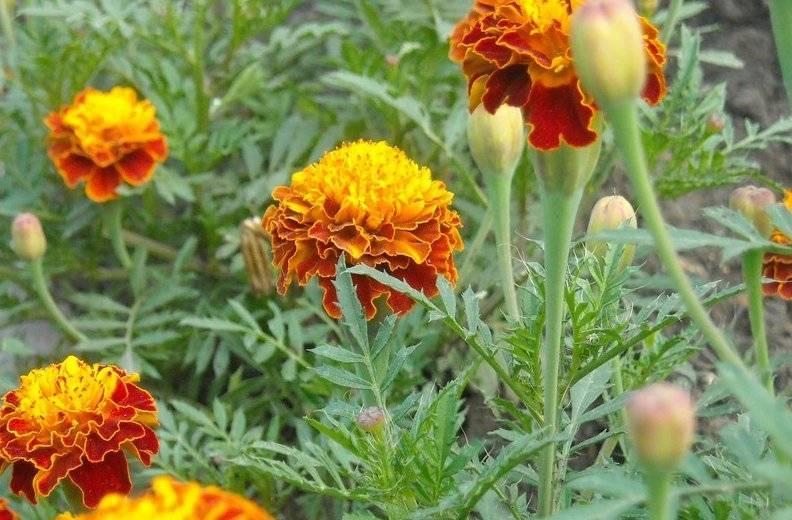 Особенности выращивания и тонкости цветения чернобрывцев. бархатцы многолетние: посадка и уход за цветком