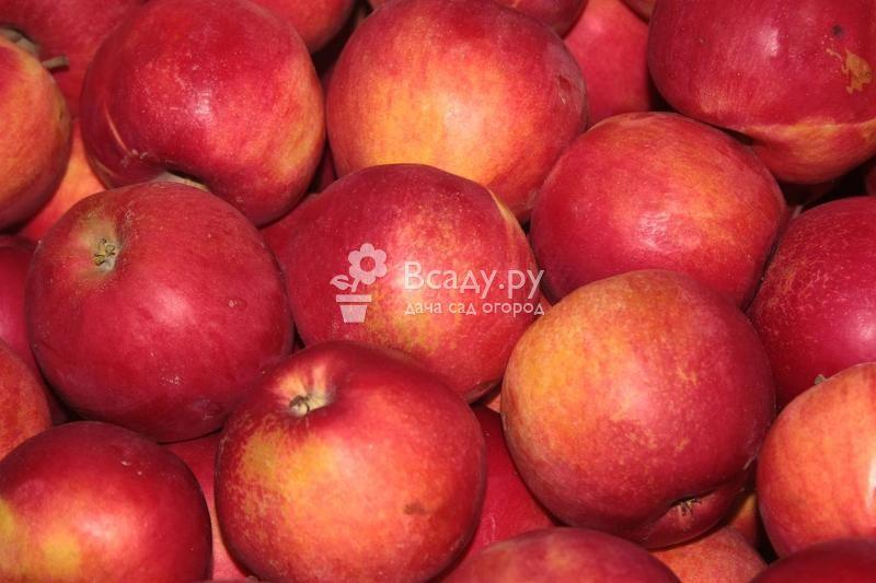 Моя любимая яблоня джонатан: описание, фото