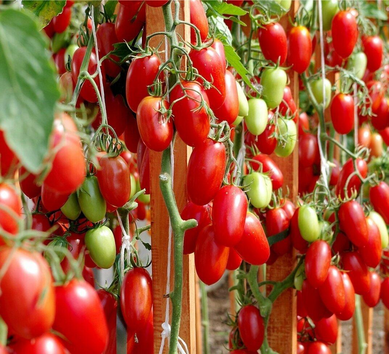 Помидоры для северо запада: выбираем лучшие и урожайные сорта