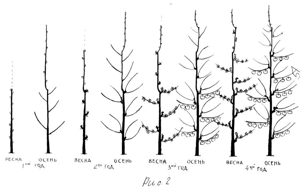 Сорта колоновидной груши и особенности ухода за деревьями