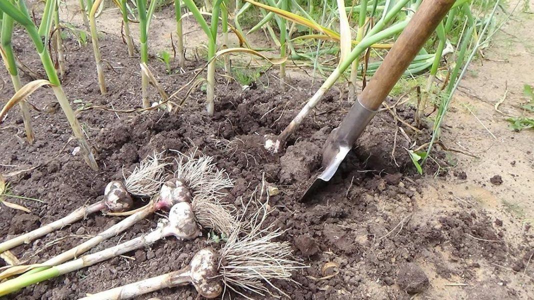 Когда копать чеснок: сроки сбора урожая для зимних и яровых посадок, лунный календарь 2019
