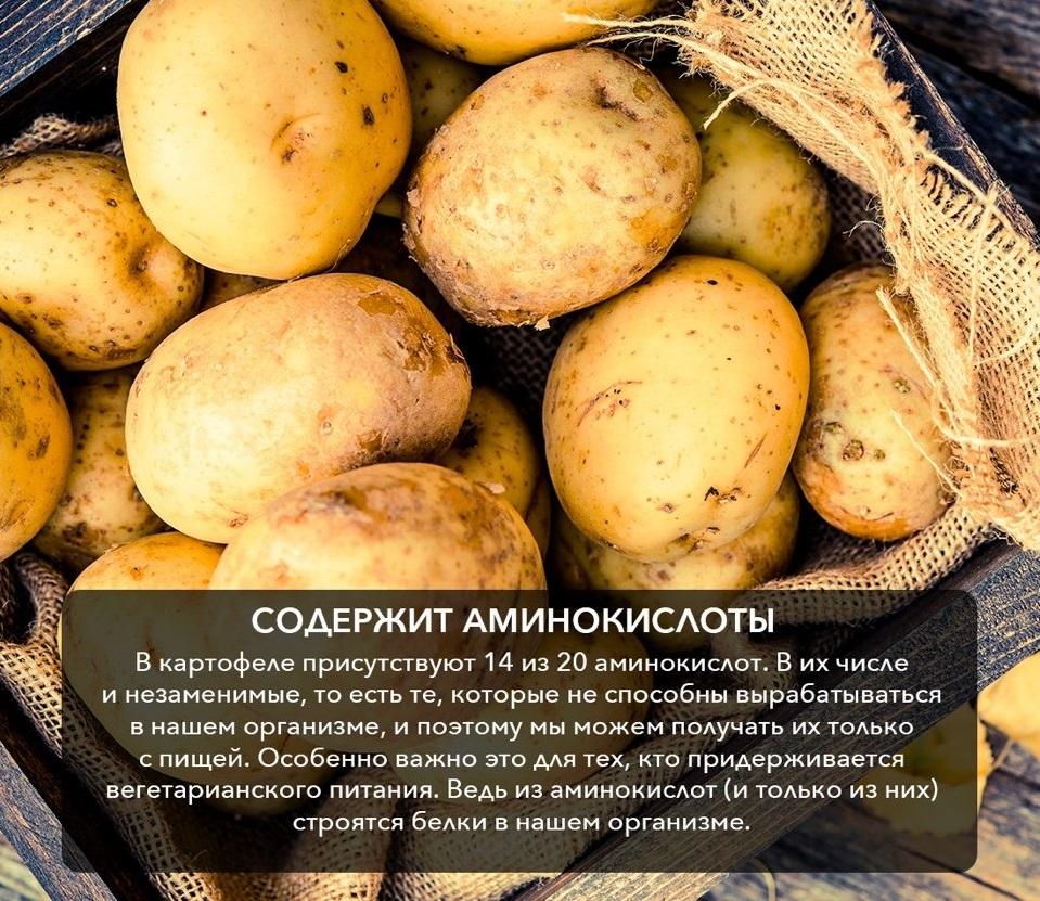 Картофель, польза и вред для организма человека