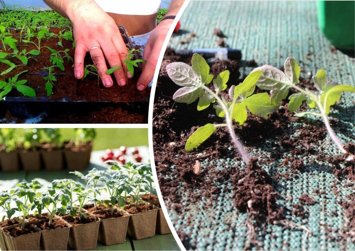 Пересадка помидор в открытый грунт или горшки: подходящие условия, фото и видео