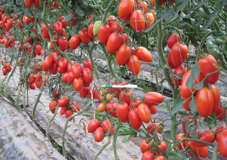 Холодостойкий томат королевская мантия: детальное описание, агротехника, отзывы