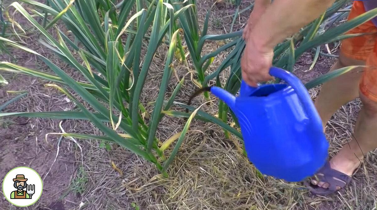 Подкормка чеснока весной и летом: чем удобрить для больших головок