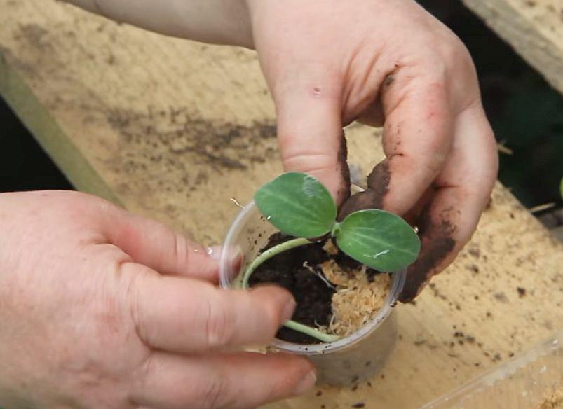 Как посадить переросшую рассаду огурцов: пошаговая инструкция