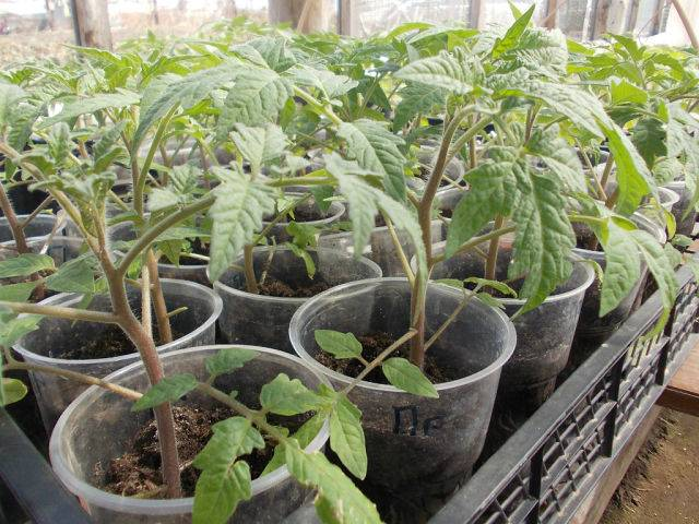 Метод терехиных по выращиванию томатов, жесткая пикировка, видео | сад и огород