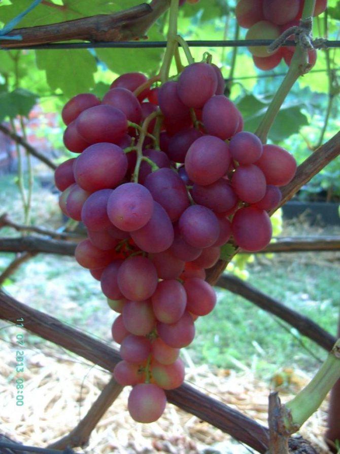 """Виноград """"памяти учителя"""": описание сорта, фото, отзывы"""