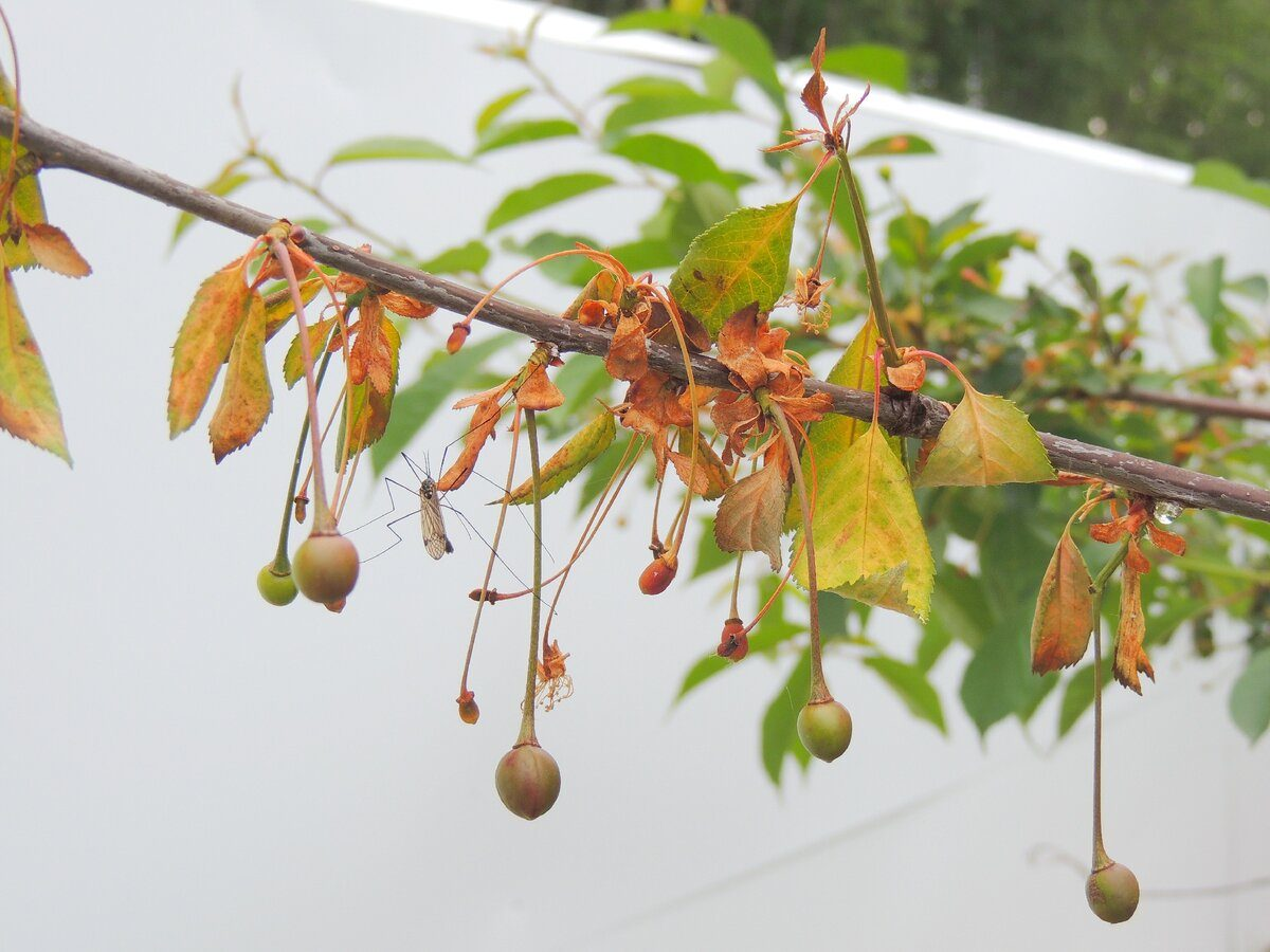 Монилиоз вишни – как лечить болезнь