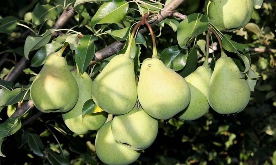 Груша мраморная: характеристика сорта и технология выращивания