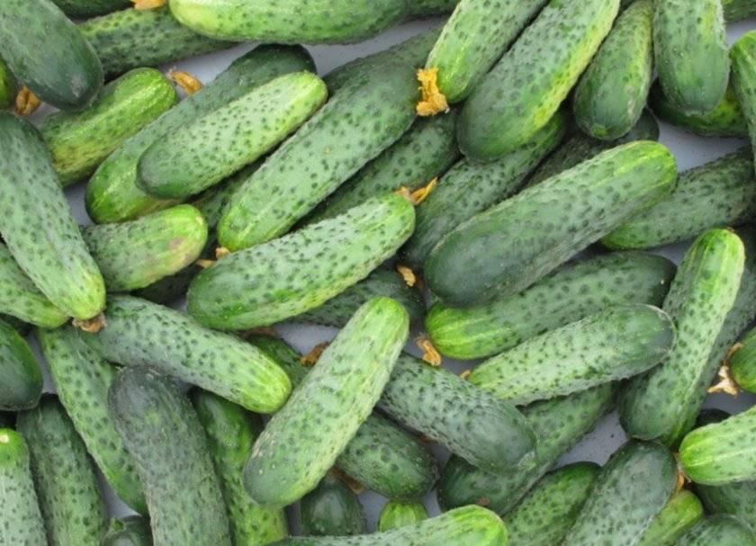 Огурцы криспина — характеристика и правила выращивания