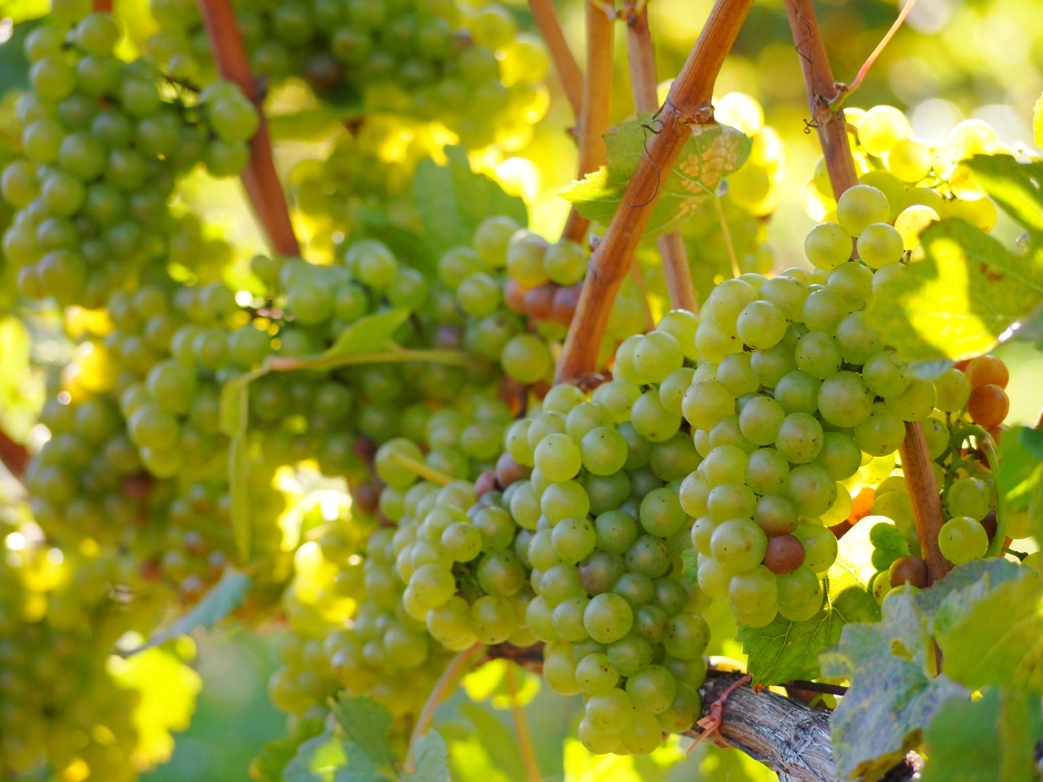 Pinot grigio – история вина из италии + видео   наливали