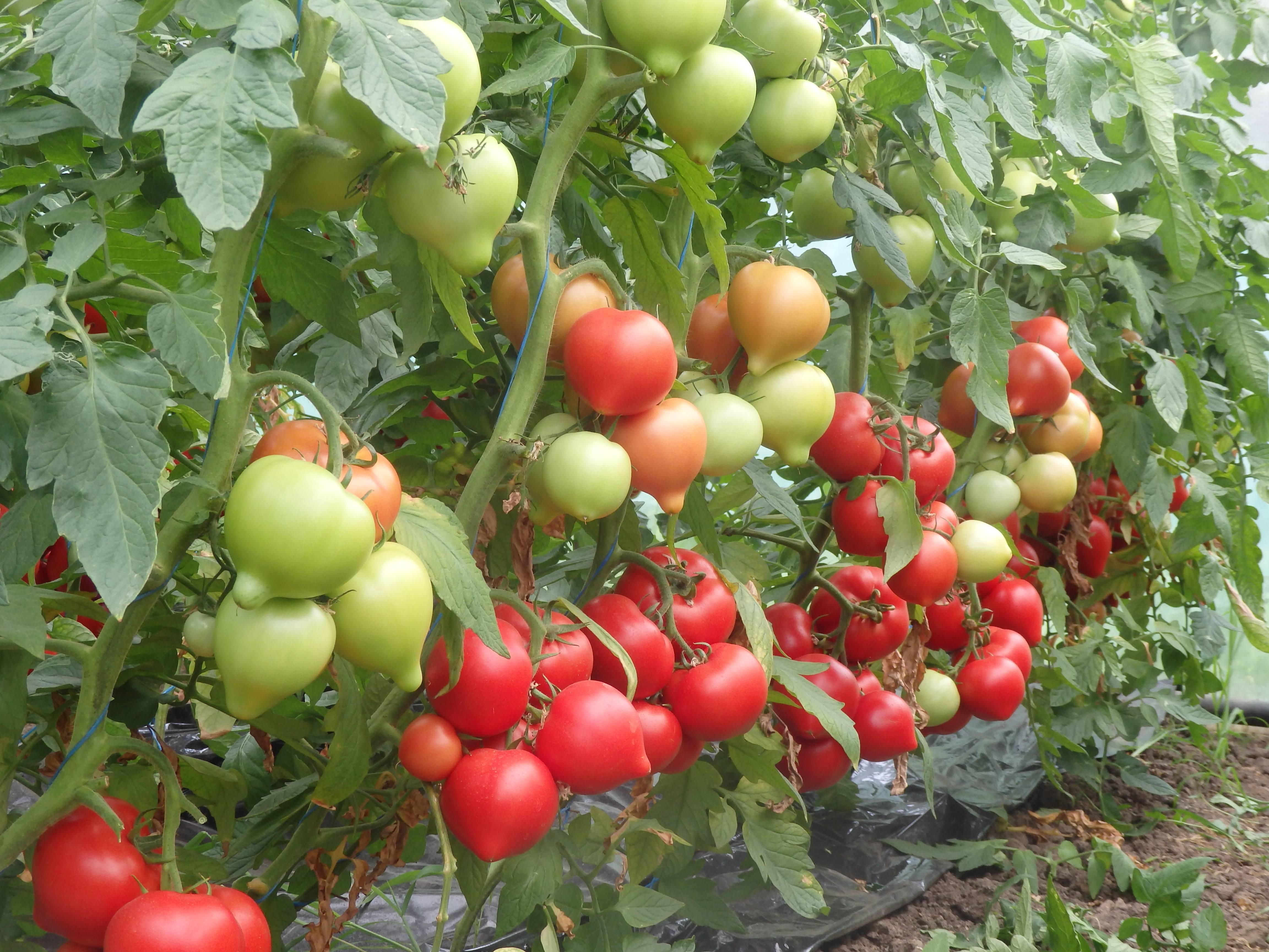 Томат f1 «спрут черри»: описание сорта и особенности выращивания необычного помидора русский фермер