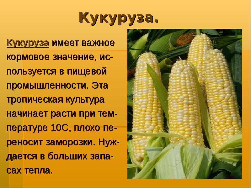 Горох - это овощ или фрукт, к какому семейству относится культура (2021)