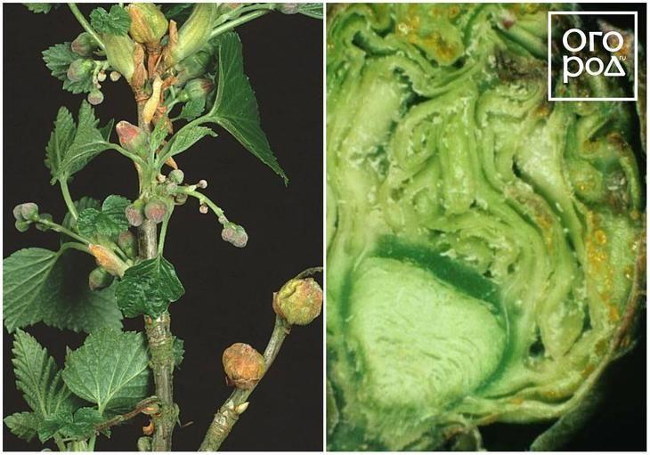 Болезни и вредители пионов: фото, описание и борьба с ними