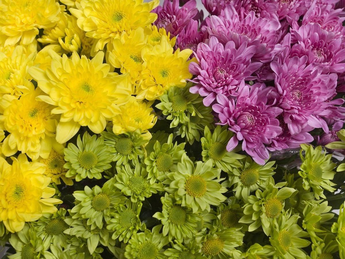 Хризантемы корейские многолетние зимостойкие с фото: описание сортов и видов