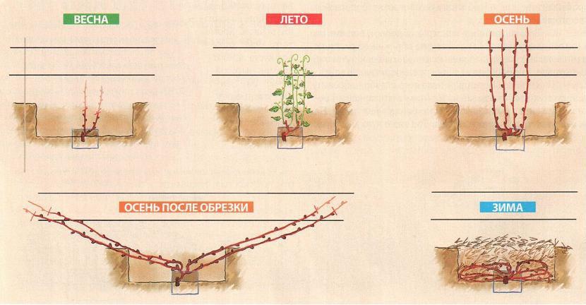Обрезка винограда весной для начинающих: когда и как правильно обрезать, основные нюансы