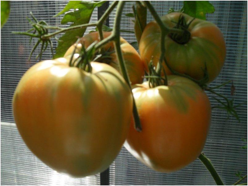 Описание редких коллекционных сортов томатов от валентины редько, новинки 2020 года