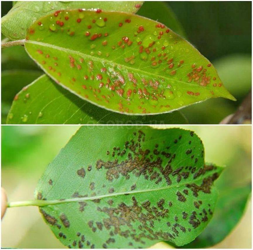 Описание и признаки болезней и вредителей груши, средства для лечения